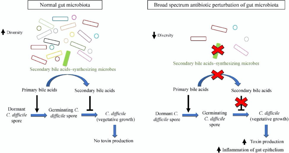 Broad-spectrum antibiotic-induced microbiome dysbiosis favors C. difficile growth