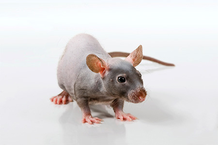 Grey Nude Rat