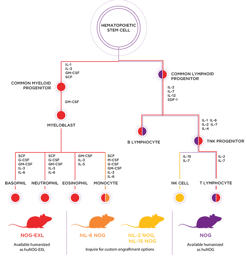 Hematopoiesis and Human Immune System Engrafted Mice