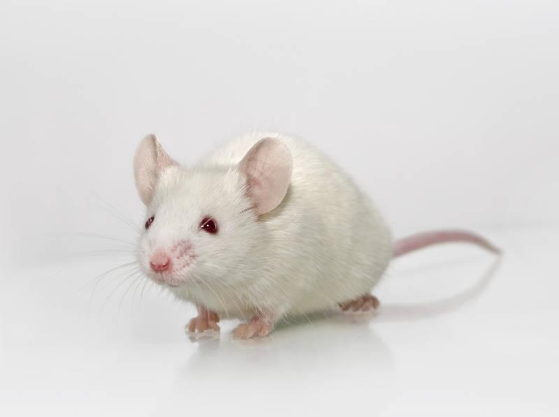 CIEA NOG Mouse