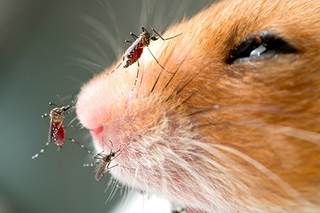 Anopheles mosquito on a mouse