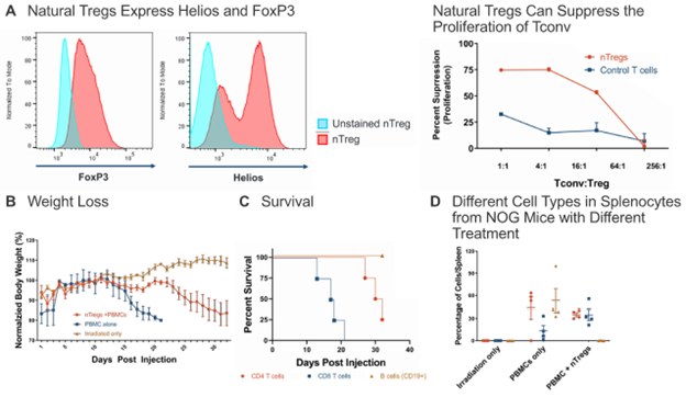 Figure 4: Natural Tregs can suppress GvHD in vivo. (A) Natural Tregs, which express FoxP3 and Helios, were mixed with conventional T cells (Tconv) at various ratios in a mixed lymphocyte reaction and their suppression activity was determined. (B) To test the suppressive effect of nTregs in vivo, NOG mice were irradiated with 200 rads one day prior to engraftment of PBMCs +/- Treg at 1:1. nTreg were able to suppress GvHD, as determined by monitoring body weight loss (B) and prolonged survival (C). nTreg cells suppressed the number of CD19+ B cells in spleen, potentially impacting the slowed onset of GvHD (D).