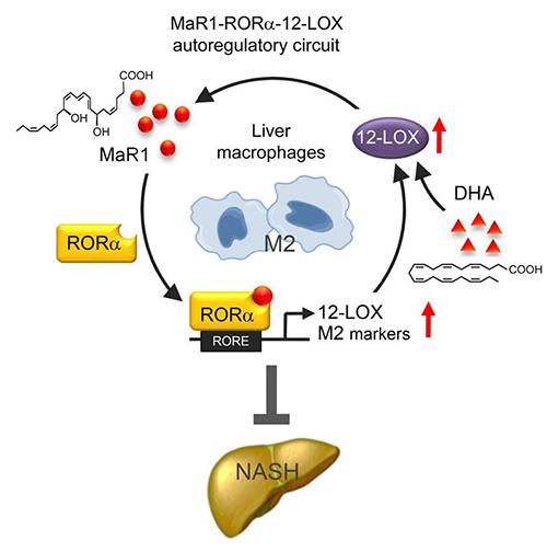 A schematic of the MaR1-RORα-12-LOX autoregulatory circuit. Targeting of this circuit could provide a therapeutic response in NASH via its resulting polarity switch in liver macrophages from an inflammatory (M1) to anti-inflammatory (M2) phenotype.