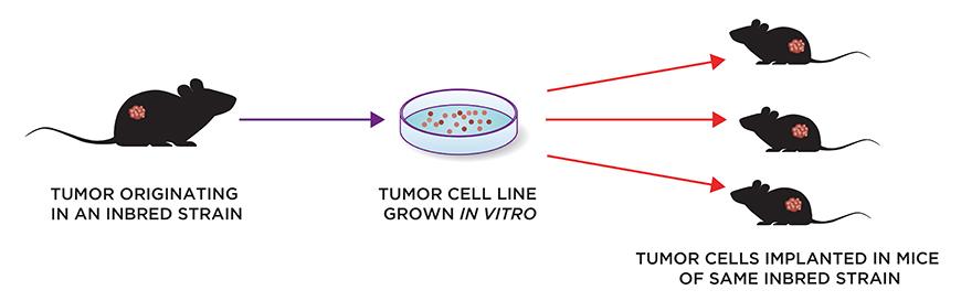 syngeneic tumor studies
