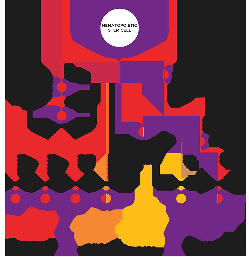 Taconic Biosciences Hematopoiesis Infographic