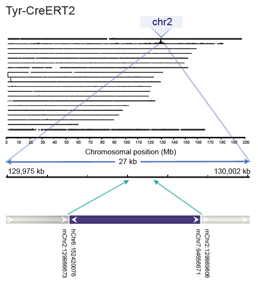 TLA whole genome coverage and analysis plot of a Tyr-CreERT2 transgenic animal
