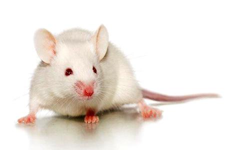 B6 Albino Mouse